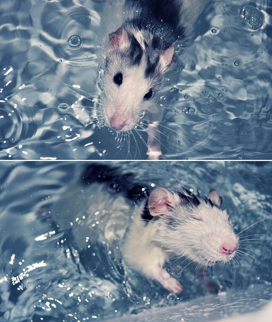 (some) rats <3 swimming. (image is Rats first swim by PJMatthews on Flickr, via dirtyratlover.tumblr.com)