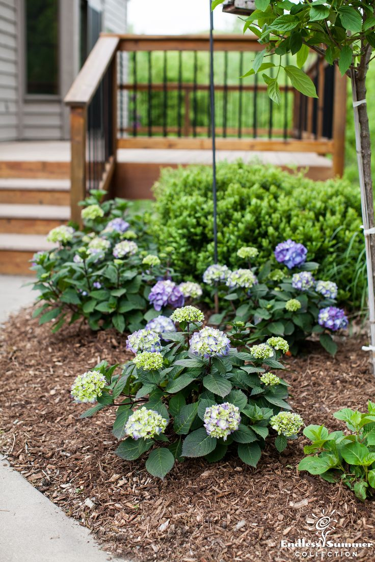 Bring a pop of vibrant color to a green backdrop with BloomStruck® #hydrangeas. ‪#‎BloomTip‬: Add an application of high-phosphorus fertilizer in late spring or early summer to encourage bloom production. Follow package instructions so that you don't over fertilize. #garden #gardening #EndlessSummer