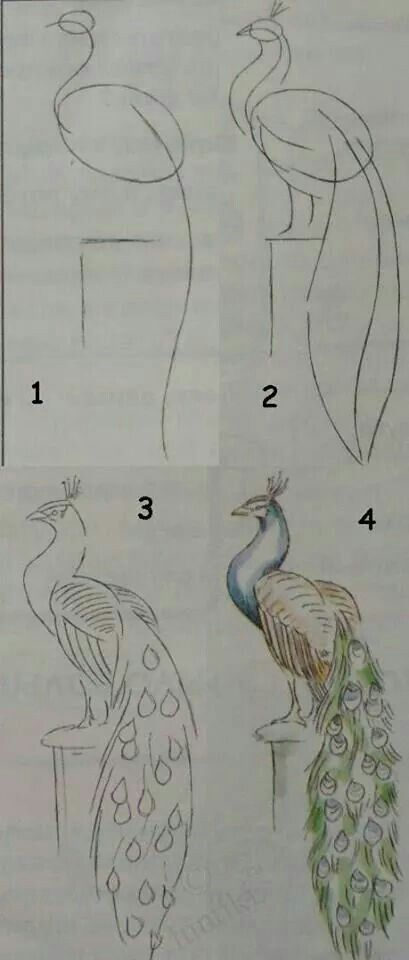 Brilliant instructions to draw a peacock