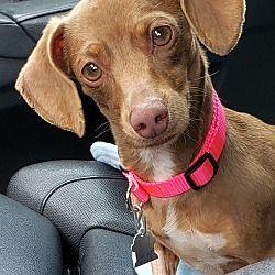 Decatur Ga Dachshund Chihuahua Mix Meet Ashton A Puppy For