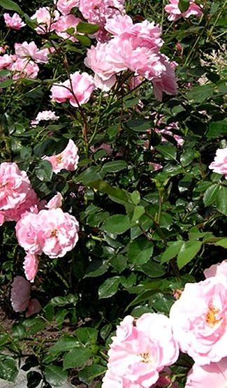 Köynnösruusut viihtyvät lämpimässä paikassa seinustalla auringossa.Ne istutetaan 15 cm syvemmälle kuin mitä ne ovat taimiruukussa.Penkki on perustettava hyvin: mullan sekaan kanankakkaa. Penkin pohjalle salaojitus.Kesäaikaan köynnösruusuja on lannoitettava ja kasteltava säännöllisesti. Kasteluveteen kastelulannoitetta, mikä edesauttaa runsasta kukintaa.Syyslannoitus on tärkeä. Keväällä kuivat oksat leikataan pois. Talveksi ne on suojattava laittamalla juurelle talvisuojaturvetta ja…