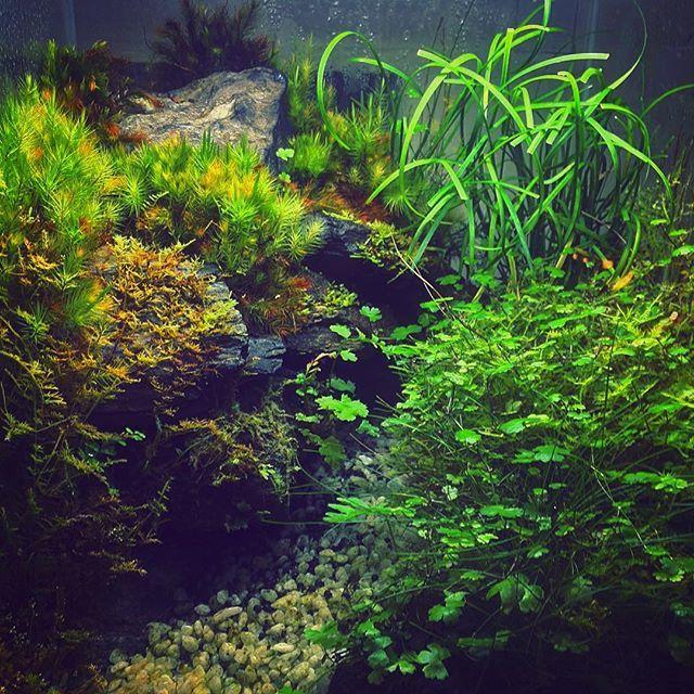 【tsukasa.sakaguchi】さんのInstagramをピンしています。 《30センチキューブ水槽ビバリウム^ ^ 立ち上げから約2年石にも苔が巻きついてきて自然感MAX✨  #水草水槽 #ビバリウム#テラリウム #庭園 #水草レイアウト #苔 #ADA #観葉植物 #観葉植物インテリア #インテリア #自然の癒し  #ヤドクガエル #カニ》