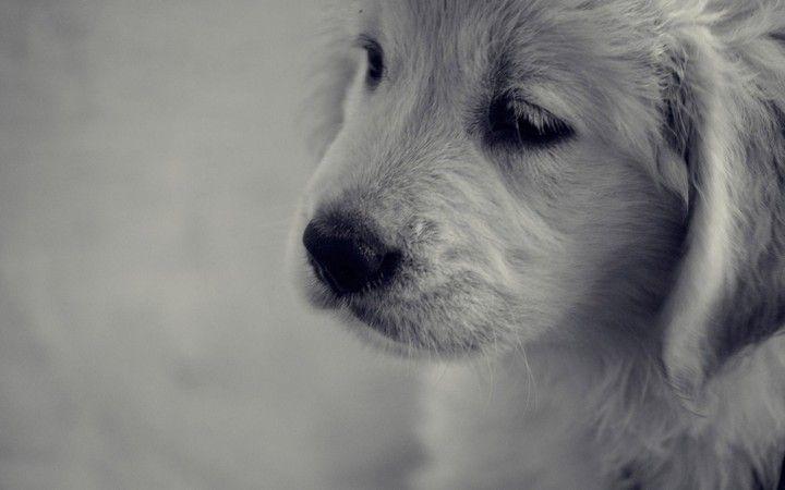 Golden Retriever Puppy Dog Sad Background Desktop