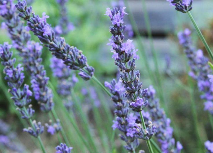 Lavendelolja, Spara sommaren på flaska! Lägg lavendel i olja och gör din egen lavendelolja. Använd den i matlagning eller till huden. https://www.freakykitchen.se/sv/blogg/recept/2016/07/31/lavendelolja.html