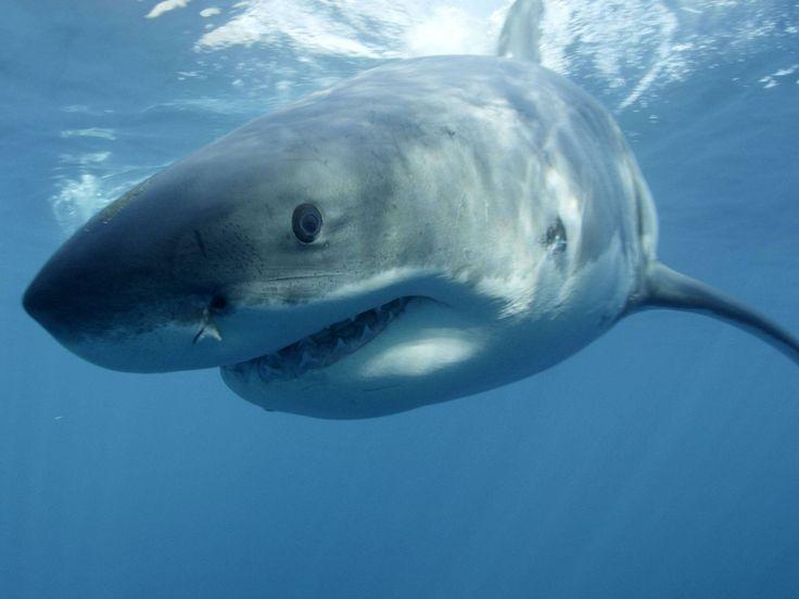 121 Best Shark Images On Pinterest