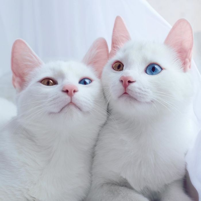 The Most Beautiful Twin Cats In The World - We Love Cats and Kittens  Flo&Fa