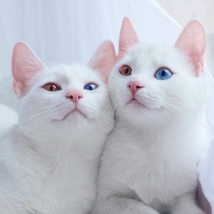 2匹おそろいのオッドアイ。双子の白猫、アイリスとアビスが幻想的で美しい:小太郎ぶろぐ