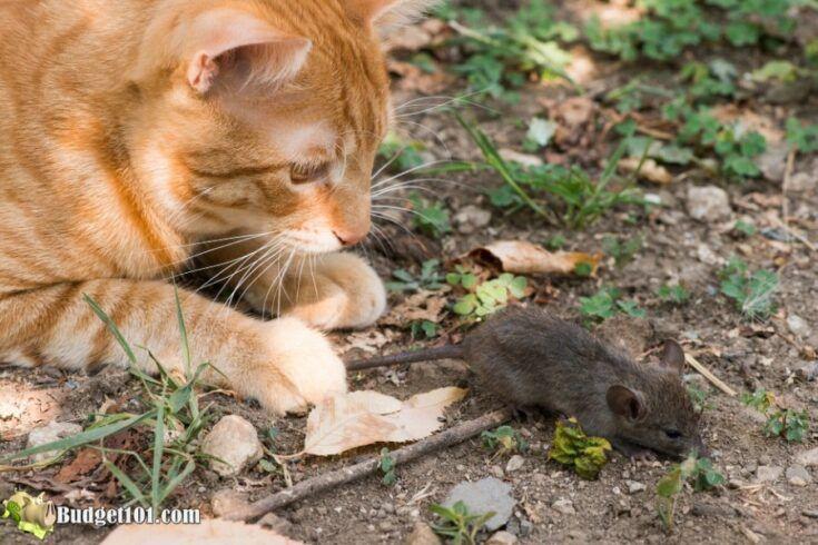 diy mouse rat poison
