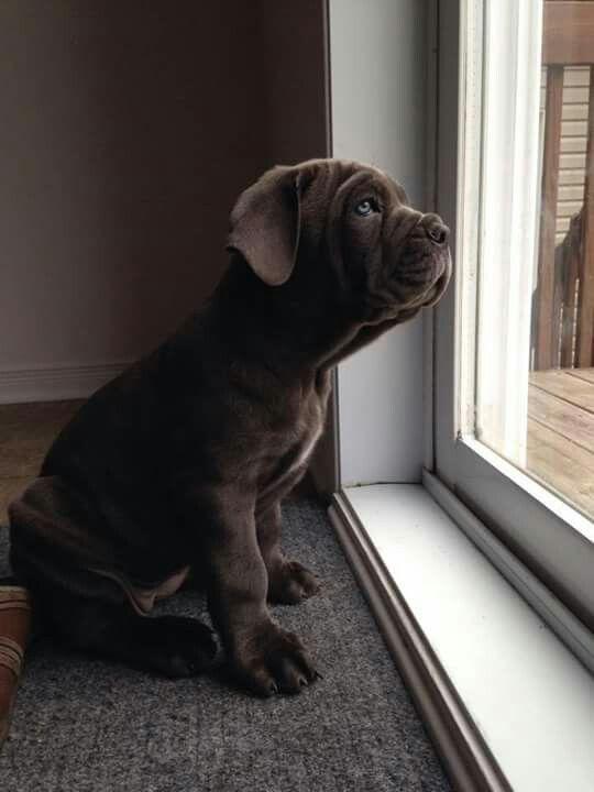 Sweet #Cane #Corso #puppy