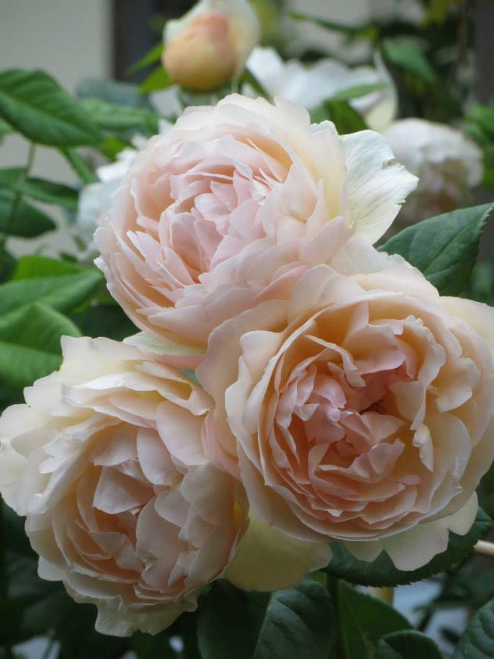 'Wollerton Old Hall' | Shrub.  English Rose Collection. David C. H. Austin (United Kingdom, before 2011)