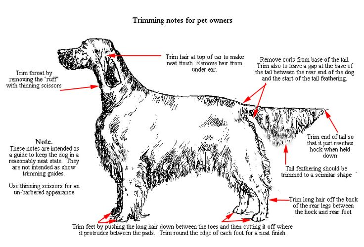 Trimming notes for non-show English Setter