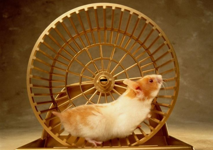 Choosing Between Common Pet Rodents #mice #rodents http://sierra-leone.remmont.com/choosing-between-common-pet-rodents-mice-rodents/  # Small Rodents as Pets Female Fancy Mouse. Lianne McLeod The group of small rodents comprised of hamsters, gerbils, guinea pigs, mice, and rats are commonly found at pet stores and are favorites as family pets. While they are all rodents, they do have varied requirements in caring for them and social interaction and have differing qualities as pets. The…