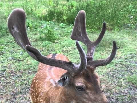 Как растут оленьи рога / Видео / Моя Планета