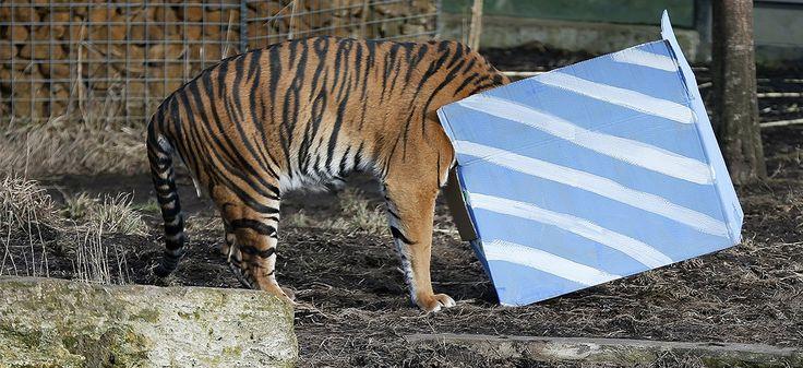 Un tigre de Sumatra, la tête dans un paquet cadeau, au zoo de Londres le 4 février 2015. REUTERS/Stefan Wermuth.