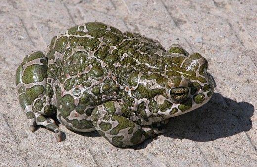 Жаба — что мы о ней знаем?  За рубежом жаб давно используют специально для борьбы с вредителями огородных культур. Садовники Англии, Голландии, Венгрии завозили их из других стран и выпускали в сады и оранжереи.
