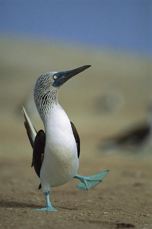 ~~Blue-footed Booby by Tui De Roy~~