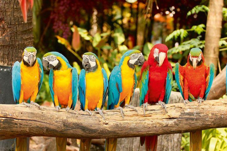 Perroquets, Manaus