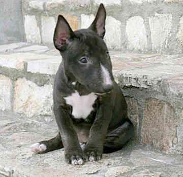 Miniature Bull Terrier Rescue