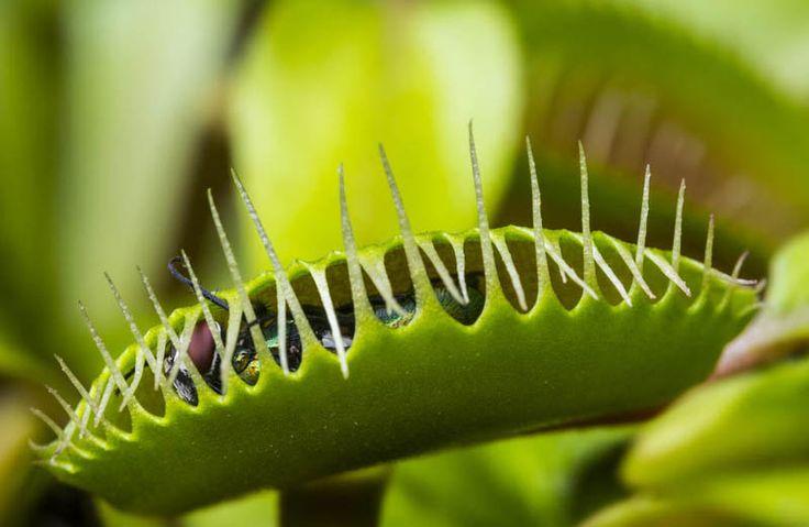 Lijstje van de week: 5x vleesetende planten. #venusvliegenvanger #lijstje