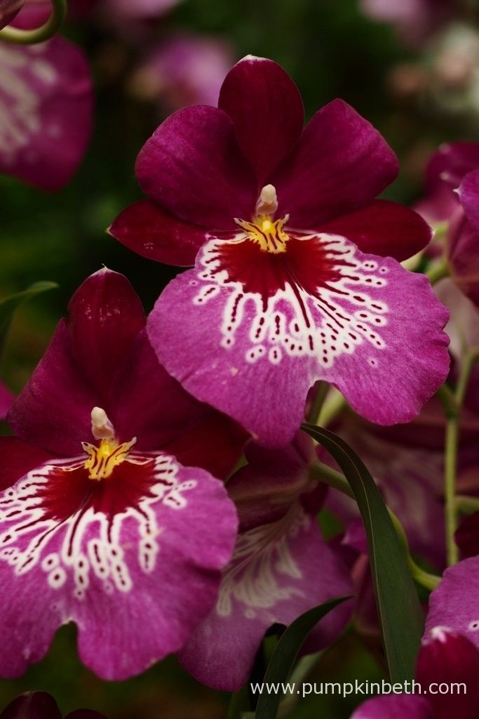 Miltoniopsis 'Newton Falls' at The RHS London Orchid Show.