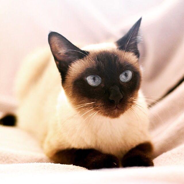 Siyam kedisi cat