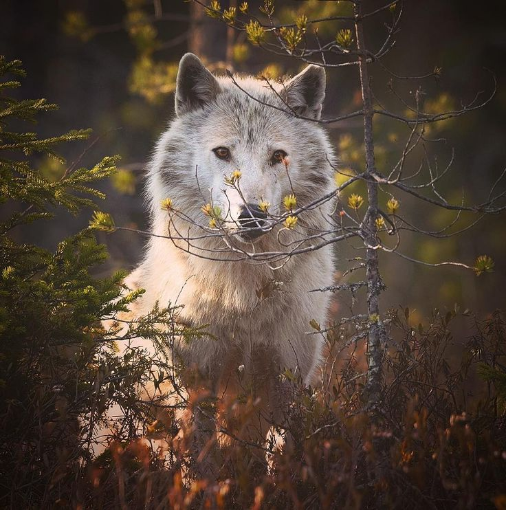 """wolfsheart-blog: """" Grey wolf (canis lupus) in a forest. Finland by Niko Pekonen """""""