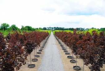 Sheridan Nurseries container farm. Rows of rows of trees.