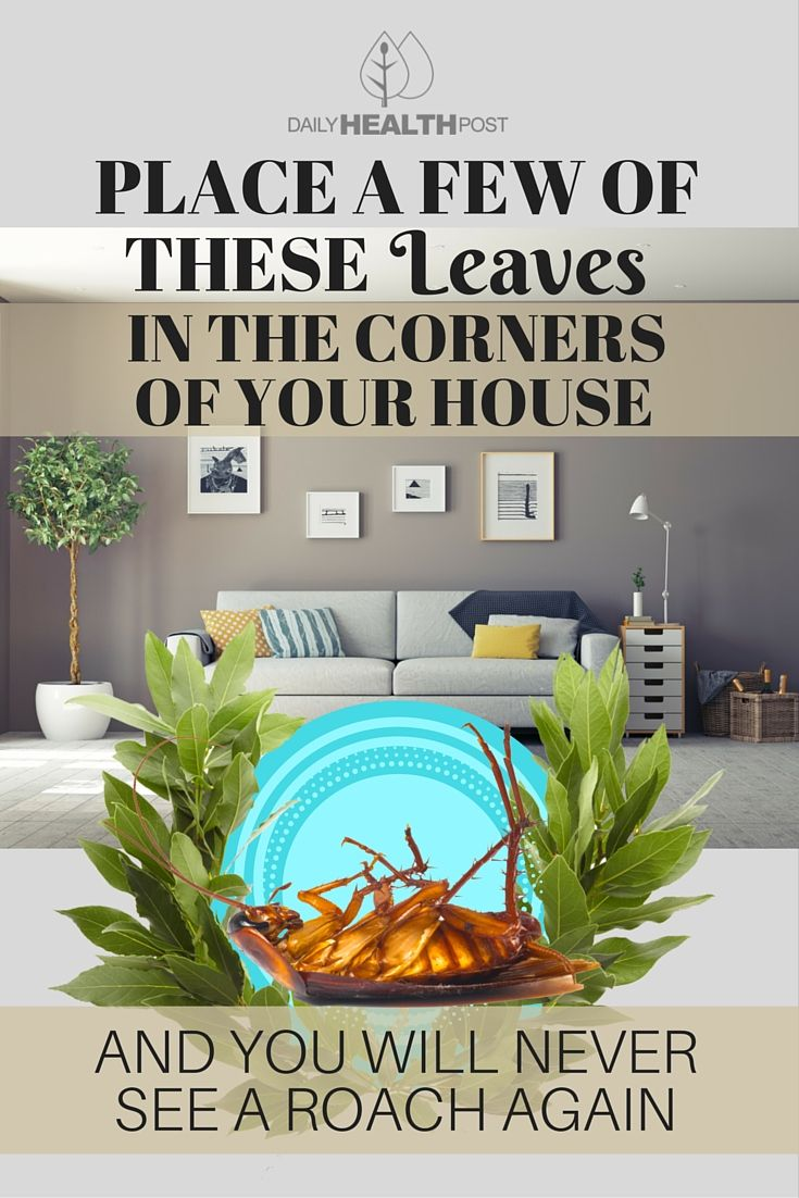 Place a Few of These Leaves in the Corners of Your House and You Will Never See a Roach Again via @dailyhealthpost | http://dailyhealthpost.com/bay-leaves-to-get-rid-cockroaches/