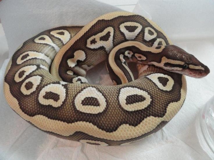 Desert Mojave Ball Python, Python Regius,  2 Gene Morph, reptile, scaled, brown, tan, straw yellow striped