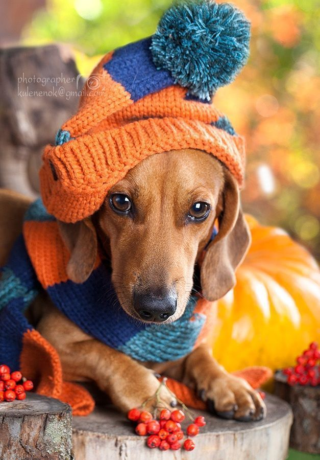 My favorite #dachshund P B. He is ready for the AUBURN football game ! Orange and blue