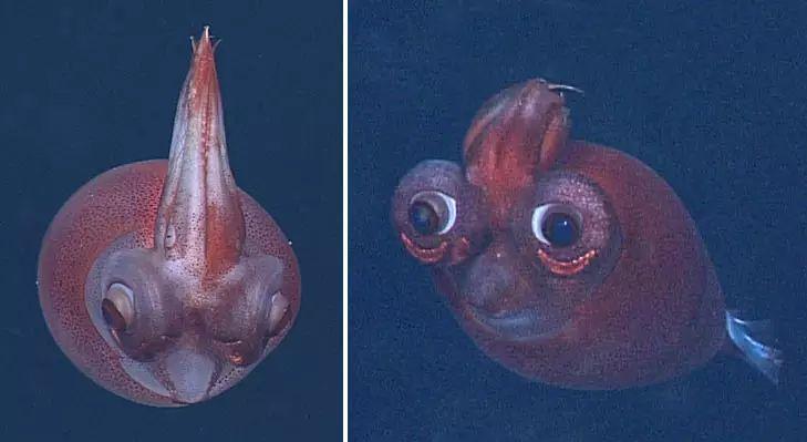Taonius borealis: Bizarre Deep-sea Squid with Snooki Hair and Giant WALL-E eyes!