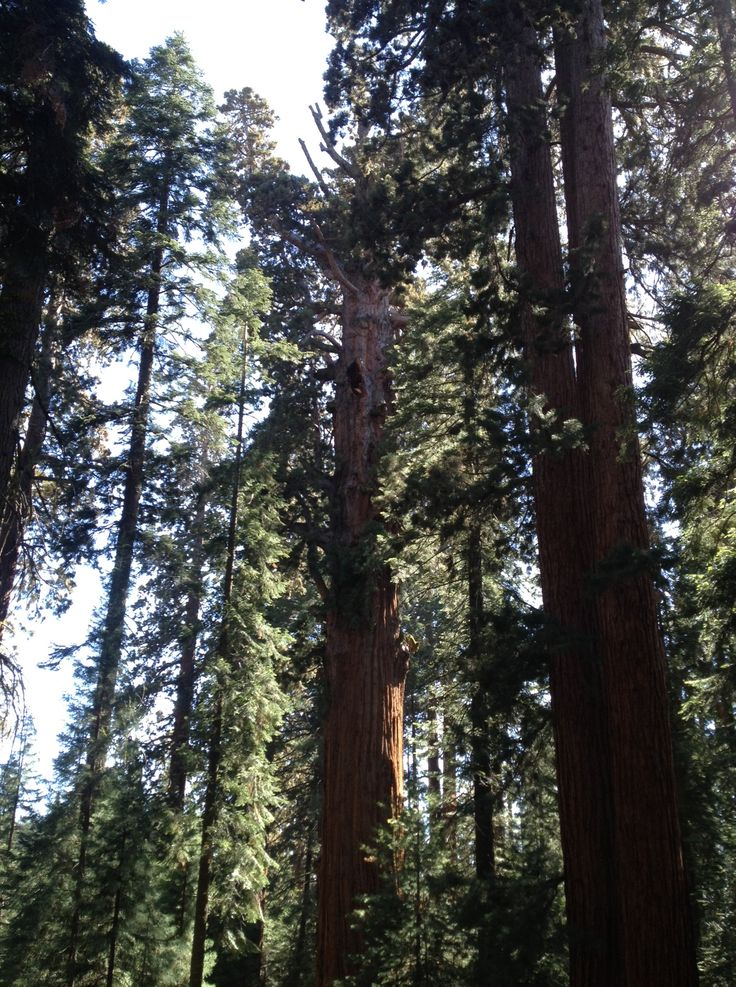 The General Sherman tree in Sequoia National Park is the largest in the world, by volume.