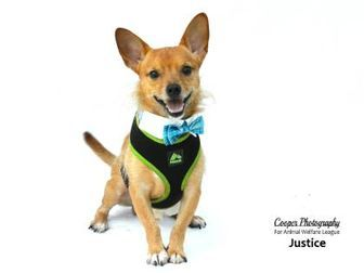Port Charlotte, FL - Chihuahua/Terrier (Unknown Type, Small) Mix. Meet Justice, a dog for adoption. http://www.adoptapet.com/pet/19326877-port-charlotte-florida-chihuahua-mix