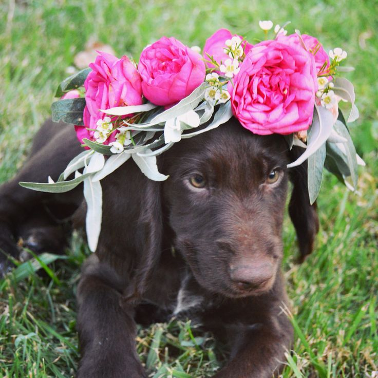 Cute german shorthaired pointer puppy wearing a flower crown