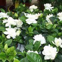 Gardenia o Jazmín del Cabo (Gardenia jasminoides)
