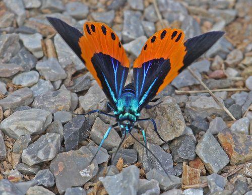 Th13_06879a | Moth at Kaeng Krachan National Park, Thailand ...