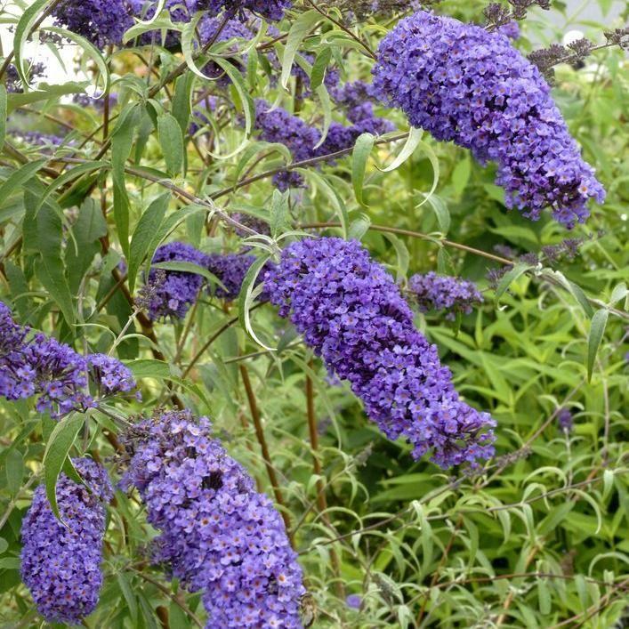 Buddleia dit arbre à papillon - entretien
