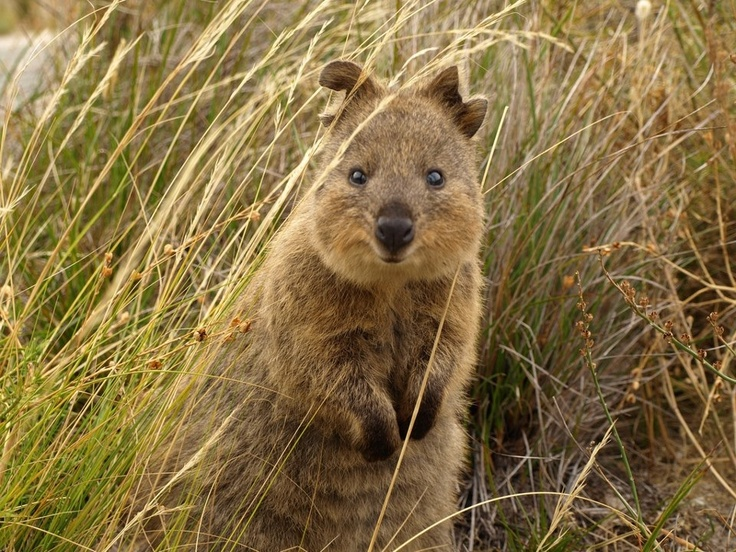 Best Quokkacan I Have One Images On Pinterest - 15 photos that prove quokkas are the happiest animals in the world