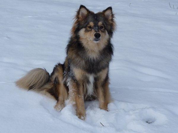 Perle des Nordens - Finnischer Lapphund Zwinger - Suomenlapinkoira Kennel