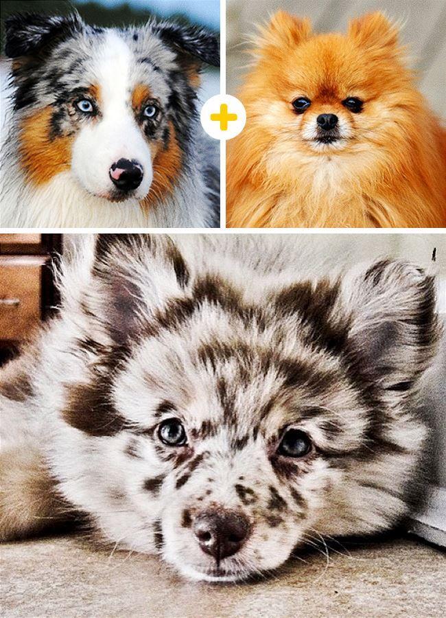 3. Pastor australiano + Pomerania = Pomerania australiano