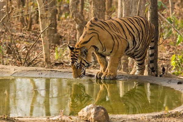 Tiger Travels 140km From Tadoba To Nagzira Highlighting Corridor Importance >> Interestingly, a tiger from #Tadoba-Andhari Tiger Reserve (TATR) in Chandrapur traversed over 140km to reach Navegaon-Nagzira #TigerReserve (NNTR) in Bhandara and Gondia districts. The tiger was recorded in New #Nagzira on January 17, 2016. The tiger crossed all kind of potential threats like roads, railways and power lines. #Wildlife #WildlifeSafari