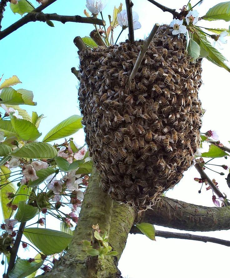 Essaim d'abeille le mans.