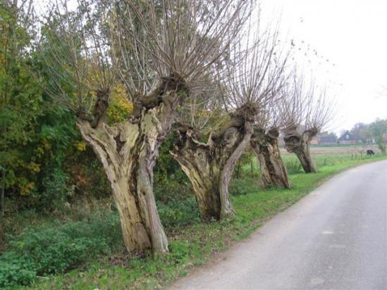Hollands landschap (knotwilgen)