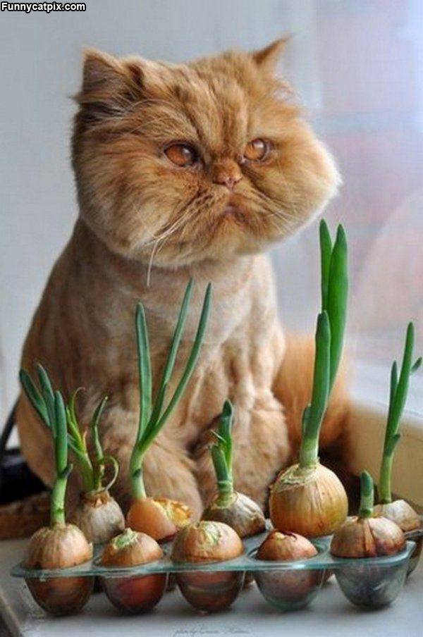 LOL, look at that silly lion cut.Funny Kitty, Onions, Sour Puss, Funny Cat, Cat Meow, Fat Cat, Grumpy Cat, Persian Cat, Animal
