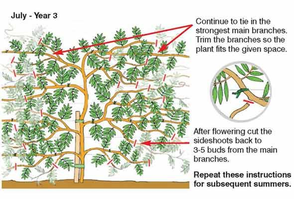 How to prune wisteria.  Prune twice a year - once in late winter (February) and again in mid-summer (July to August).  #flowers #garden