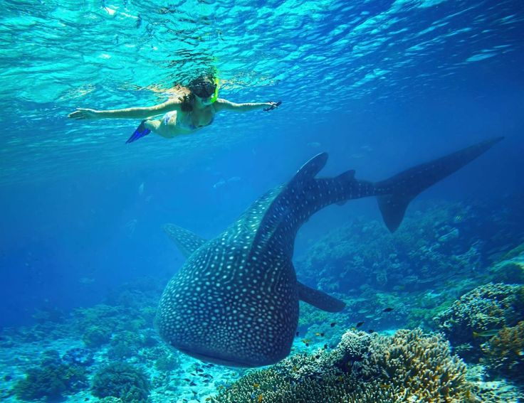 Uw eerste kennismaking met de grootste vis ter wereld zal u nog lang bijblijven. Snorkelen met walvishaaien is een onvergetelijke ervaring op de Malediven!