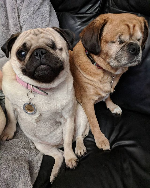 Good Morning Pals Pugs Dogs Pets