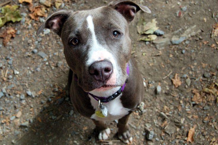 pitbull dog pictures   pitbull dogs photo: pitbull dog 04164e30.jpg
