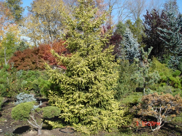 Picea orientalis Skylands (skylands oriental spruce) has bright yellow new growth that softens to golden-yellow that lasts all year! It also sports purple cones.