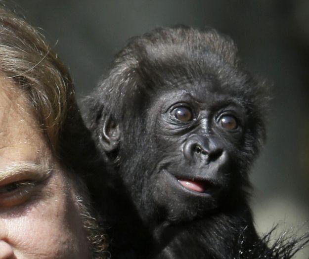 Again, LOOK AT THAT FACE. | Dream Job Alert: Surrogate GorillaMother